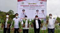 Panen Perdana Program Food Estate, Humbahas Diharapkan Jadi Lumbung Pangan Nasional